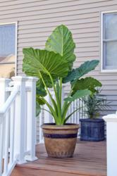 Elephant ears in pot.