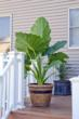 Tips on Catching the Elephant Ears Trend from Longfield-Gardens.com
