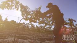 Temecula Wine Grapes