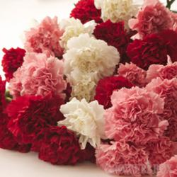 carnations, flowers for fundraisers, wholesale carnations, bulk carnations, bulk flowers, wholesale flowers