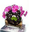 Ariel Orchids