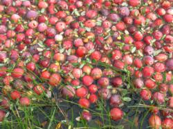 Cranberries, Long Beach Peninsula, events, food festival, Cranberrian Fair, Ilwaco, Southwest Washington, Willapa Bay, Columbia River, agriculture, Washington State, fall vacation, autumn vacation, leaf peepers