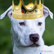 Picture of dog after crown was added with Pet Royals