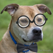 Picture of dog wtih bow tie and eye glasses