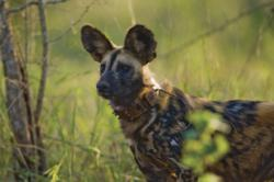 African Painted dog in South Africa with anti-snare collar.