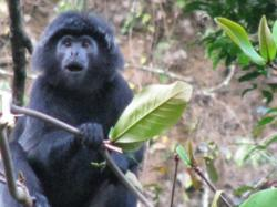 The langurs are now back in the wild thanks to The Aspinall Foundation