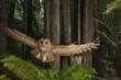 Northern Spotted Owl, California, 2009 (© Michael Nichols/ National Geographic Stock)