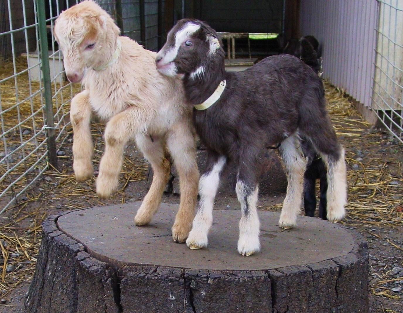 Redwood Hill Farm Rocks The Goat Vote