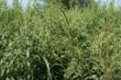Palmer amaranth dominates the plots at the Collinsville, Ill. Respect the Rotation event.
