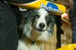 A dog peeks through the crowd at the start of the race on the Jackson town square (photo courtesy of Chris Havener).