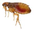 Flea activity has reached 30-year highs in some areas of the U.S.