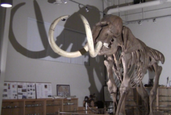This giant Colombian Mammoth is just one of the attractions people can see at the Fossil Discovery Center, which is celebrating National Fossil Day on Oct 20
