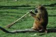 A Baboon Tackles A Broomstick c The Aspinall Foundation