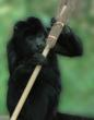 A Howler Monkey With Broomstick c The Aspinall Foundation