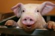 Farm Animals at the forefront: An evening with Dr. Olivier Berreville...