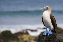 A blue-footed booby perches on lava rock in Galapagos.