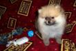 Frank Male Pom Puppy For Sale