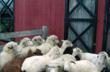 Sheep at the Barn