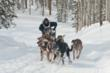 A musher makes his way through the Bridger Valley woods during the IPSSSDR (Photo courtesy of Chris Havener).