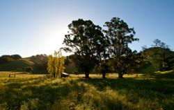 Rolling hills dotted with heritage oak trees