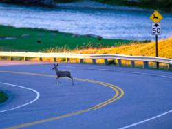 Deer Related Accidents