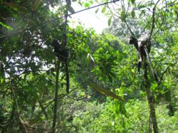 Primates released by The Aspinall Foundation settle into the forests of Java well