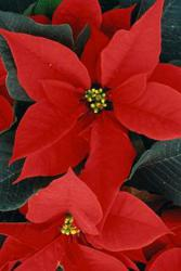 Holiday Greeting card with an image of a Poinsettia.
