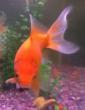 Goldfish Before Pet Holidays