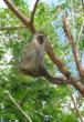 "A real South African ververt monkey provides inspiration for ""Monkey See, Monkey Do"" safari contest entries © Africa Adventure Consultants"