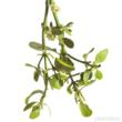 mistletoe, Christmas Greens, wholesale Christmas Greens, bulk Christmas Greens, bulk mistletoe