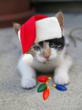Kitten Christmas Photo