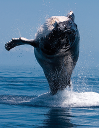 Four Seasons Resort Maui at Wailea Offers Guests Many Awe Inspiring Ways to Enjoy Majestic Humpback Whales