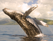 Majestic Humpback Whales, some as large as 50 feet long, carrying 30-40 tons of weight—can be counted on to fascinate and entertain guests at Four Seasons Resort Maui this winter.