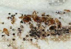 Bed Bugs More Fertile Than Expected Study Reveals Ihavebedbugs