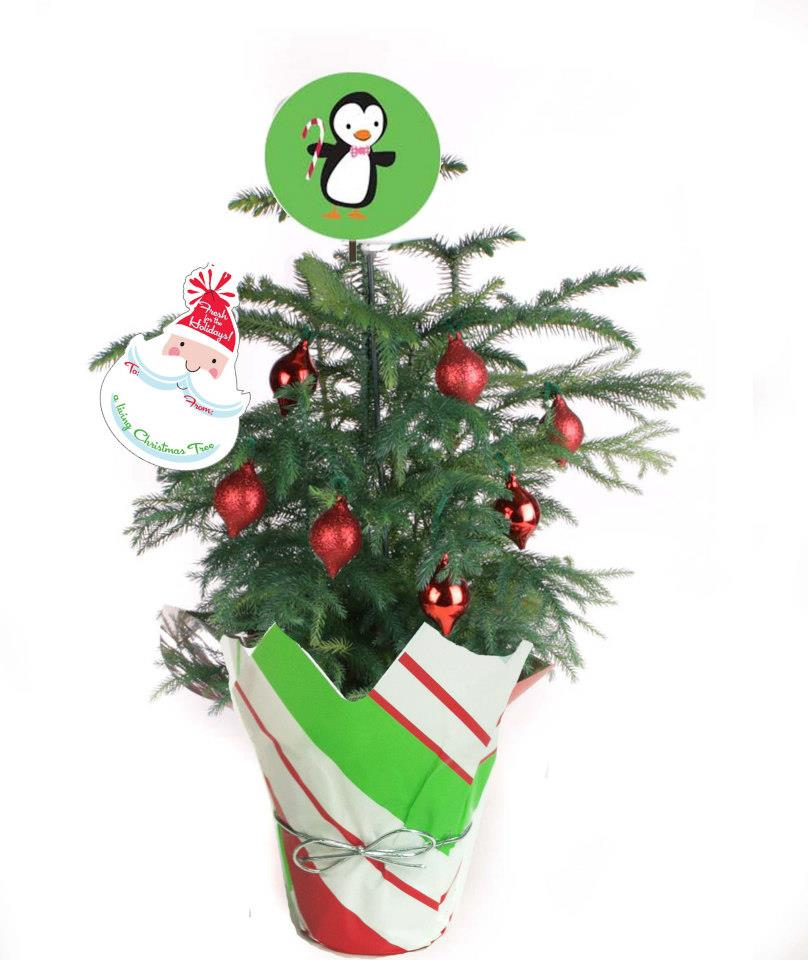 Where Does Christmas Trees Come From: Decorate With Live Mini Christmas Trees This Holiday Season