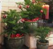 Norfolk Island Pines are a great accent for your mantel or fireplace