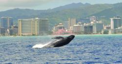 Whale photo taken from the Star of Honolulu