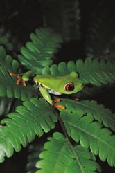 Spot red-eyed tree frogs on International Expeditions' Panama tour
