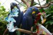Macaws enjoy Christmas at the Tennessee Aquarium