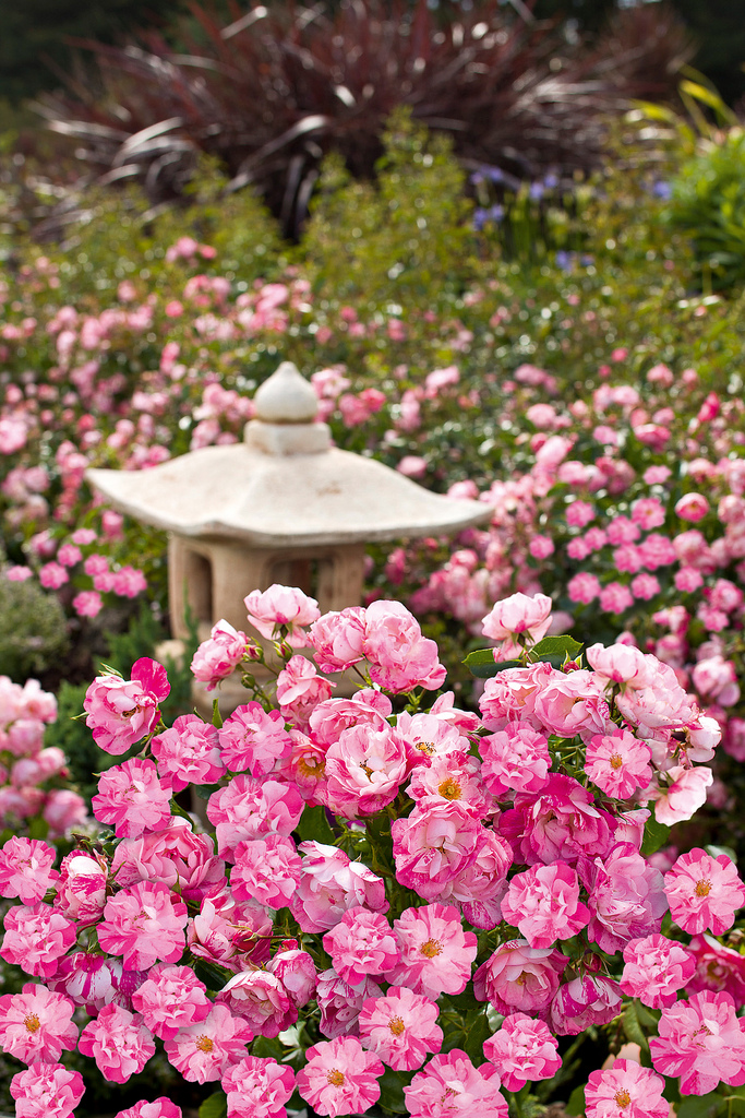 Tesselaar plants introduces flower carpet pink splash and - Plants with blue flowers a splash of colors in the garden ...