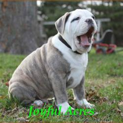 Iowa English Bulldog Breeder Has New Pups And A New Site