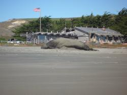Elephant Seal at Drakes Beach in Point Reyes