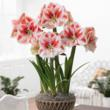 Amaryllis from Longfield Gardens make the perfect holiday hostess gift