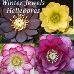 Winter Jewels Hellebores