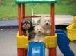 Several small dogs enjoying the pay toys at Club K-9