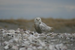 Snowy Owl, Leadbetter Point, Willapa National Wildlife Refuge, NWR, Long Beach Peninsula, Washington, coast, US Fish & Wildlife Service, oyster shells, oysters, birding, winter, bird watching, bird watch, Leadbetter Point, State Park, Audubon
