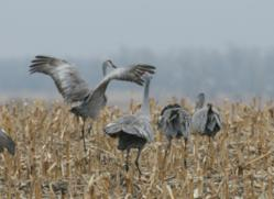 Top Birding Tour of the Nebraska Platte River Sandhill Cranes