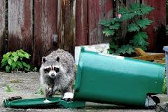 raccoon going through homeowner's trash can