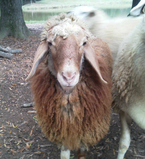 karras farm inc  announces that the first baby awassi sheep to be born in the united states has