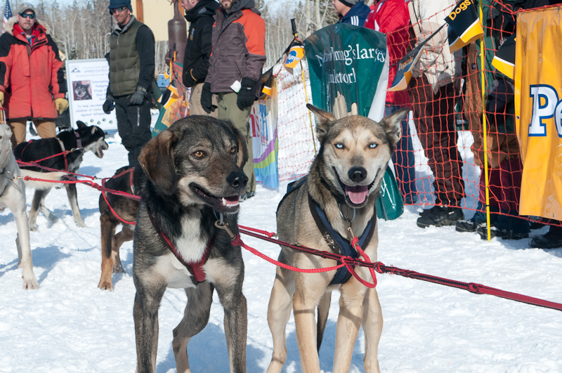 2013 Ipsssdr Largest Sled Dog Race In Lower 48 States